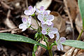 Claytonia virginica 2 Radnor Lake.jpg