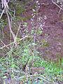 Clinopodium serpyllifolium Habitus 2011-12-18 SierraMadrona.jpg