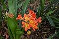 Clivia sp., Mt Coot-tha Botanic Gardens, Toowong IMGP0040.jpg