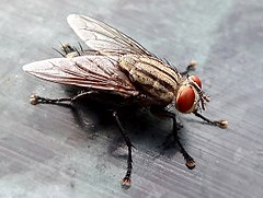 Closeup of House fly.JPG