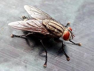 Detailnejší pohľad na muchu