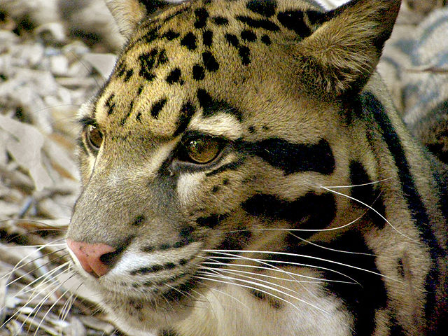 https://upload.wikimedia.org/wikipedia/commons/thumb/3/39/Clouded-leopard-Neofelis-nebulosa.jpg/640px-Clouded-leopard-Neofelis-nebulosa.jpg
