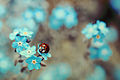 Coccinella on Myosotis.jpg