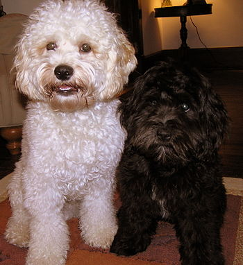 English: Cockapoo Cooper (White, 1 year old) a...