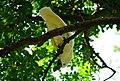 Cockatoo @ Lyon Arboretum (5171257090).jpg