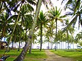 Coconut garden on the Jambak beach - panoramio.jpg