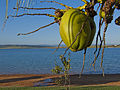 Coconuts near Furnas lake.jpg