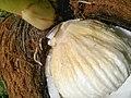 Cocos nucifera - Drup (Arecaceae) 04.jpg