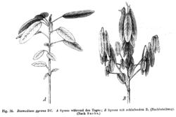 Codariocalyx motorius Taub39.png