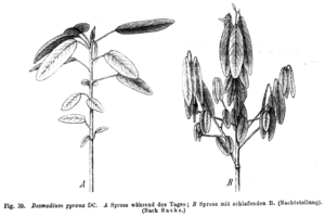 Codariocalyx motorius - Branch during day (left) and night (right)