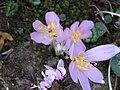 Colchicum autumnale007.jpg