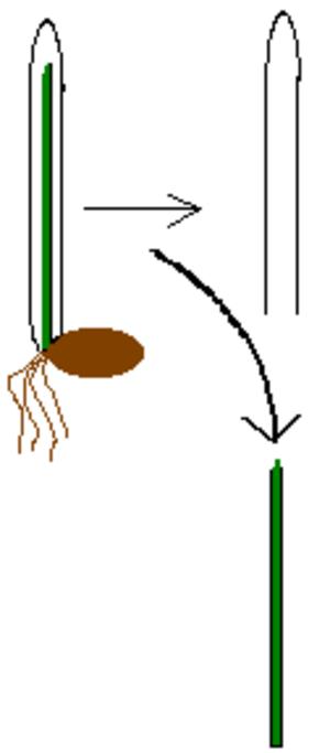 Coleoptile - Schematic image of wheat coleoptile (above) and flag leaf (below).