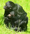 Colombian Black-Faced Spider Monkey & child at Chester Zoo.jpg