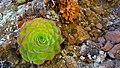 Colorful succulent (26318421029).jpg