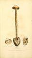 Coloured Figures of English Fungi or Mushrooms - t. 390.png