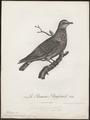 Columba phaeonotus - 1796-1808 - Print - Iconographia Zoologica - Special Collections University of Amsterdam - UBA01 IZ15600205.tif