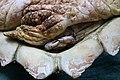 Columbus crab on Loggerhead sea turtle.jpeg
