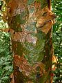 Commiphora harveyi, stam, Krantzkloof NR.jpg