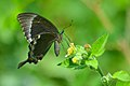 Common Banded Peacock - Papilio crino.jpg