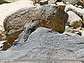 Common Cuckoo (Cuculus canorus) (28962512132).jpg