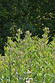 Common Milkweed (Asclepias syriaca) - Guelph, Ontario 03.jpg