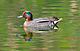 Common Teal Male (8602525826).jpg