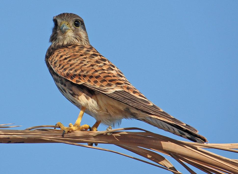 Common kestrel (Falco tinnunculus), Hurghada, Egypt - 20110923