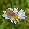 Common ringlet on an ox-eye daisy1.jpg