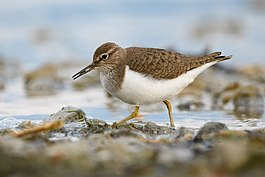 Common sandpiper lake geneva-4.jpg