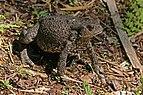Common toad (Bufo bufo) Kampinos.jpg