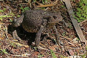 Common toad - Image: Common toad (Bufo bufo) Kampinos