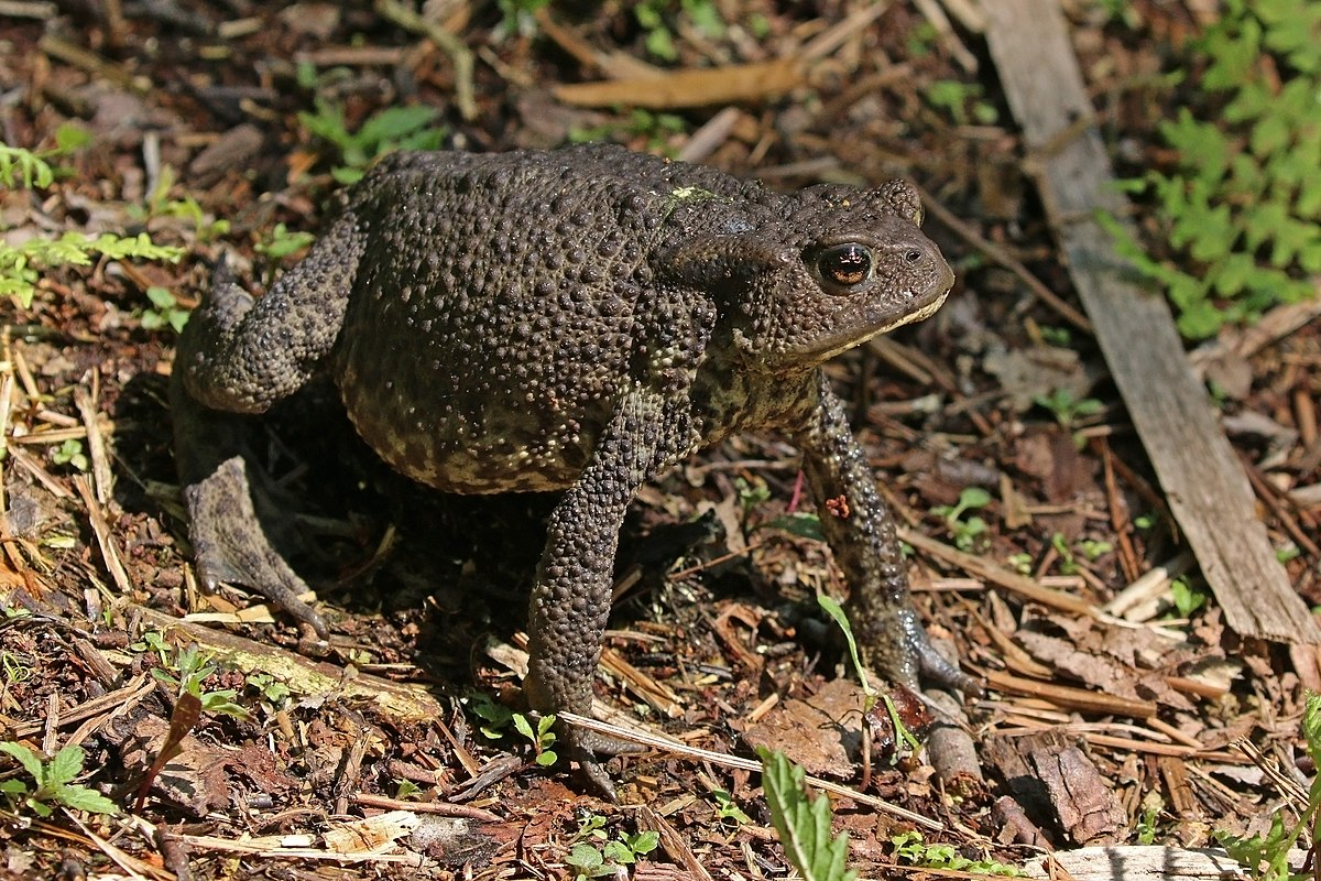 habbitat toads Asian river