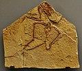 Concornis lacustris 34.jpg