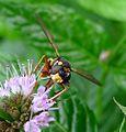 Conops quadrifasciatus. head detail - Flickr - gailhampshire.jpg