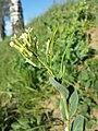 Conringia orientalis sl60.jpg