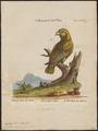 Conurus tuipara - 1700-1880 - Print - Iconographia Zoologica - Special Collections University of Amsterdam - UBA01 IZ18500199.tif