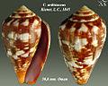 Conus ardisiaceus 1.jpg