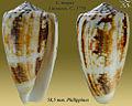 Conus magus 1.jpg
