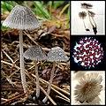 Coprinopsis phlyctidospora (Romagn.) Redhead, Vilgalys & Moncalvo 682086.jpg