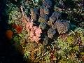 Coral and sponge at Alphard Banks P4100530.jpg