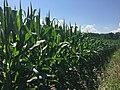 Corn field in central New York.jpg