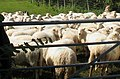 Corraled sheep near Bryn Ddol - geograph.org.uk - 933978.jpg