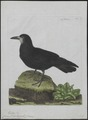 Corvus frugilegus - 1790-1796 - Print - Iconographia Zoologica - Special Collections University of Amsterdam - UBA01 IZ15700239.tif