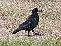 Corvus frugilegus Liminka 20200726.jpg