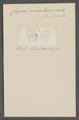 Corycia - Print - Iconographia Zoologica - Special Collections University of Amsterdam - UBAINV0274 059 12 0002.tif