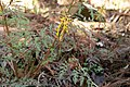 Corydalis pallida var. tenuis 09.jpg