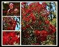 Corymbia ficifolia 4.jpg
