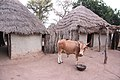 Cow with the background primitive huts village tribe Gambia.jpg