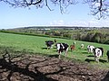 Cows at Edenreagh - geograph.org.uk - 414896.jpg