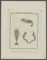 Crangon vulgaris - - Print - Iconographia Zoologica - Special Collections University of Amsterdam - UBAINV0274 097 05 0002.tif